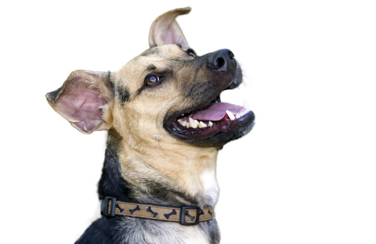 dog teeth diagram