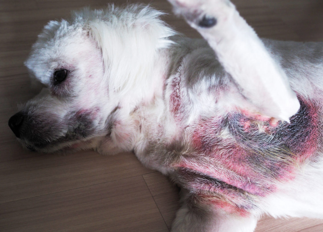 Dog Has Rash on Belly: Causes and Treatments