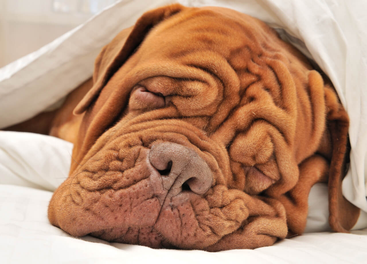 wrinkle face dog breeds