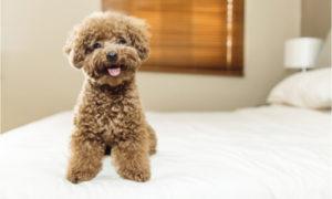 Poodle Companion Dog Training