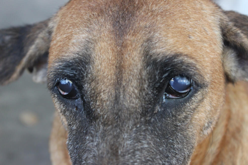 dog glaucoma surgery cost
