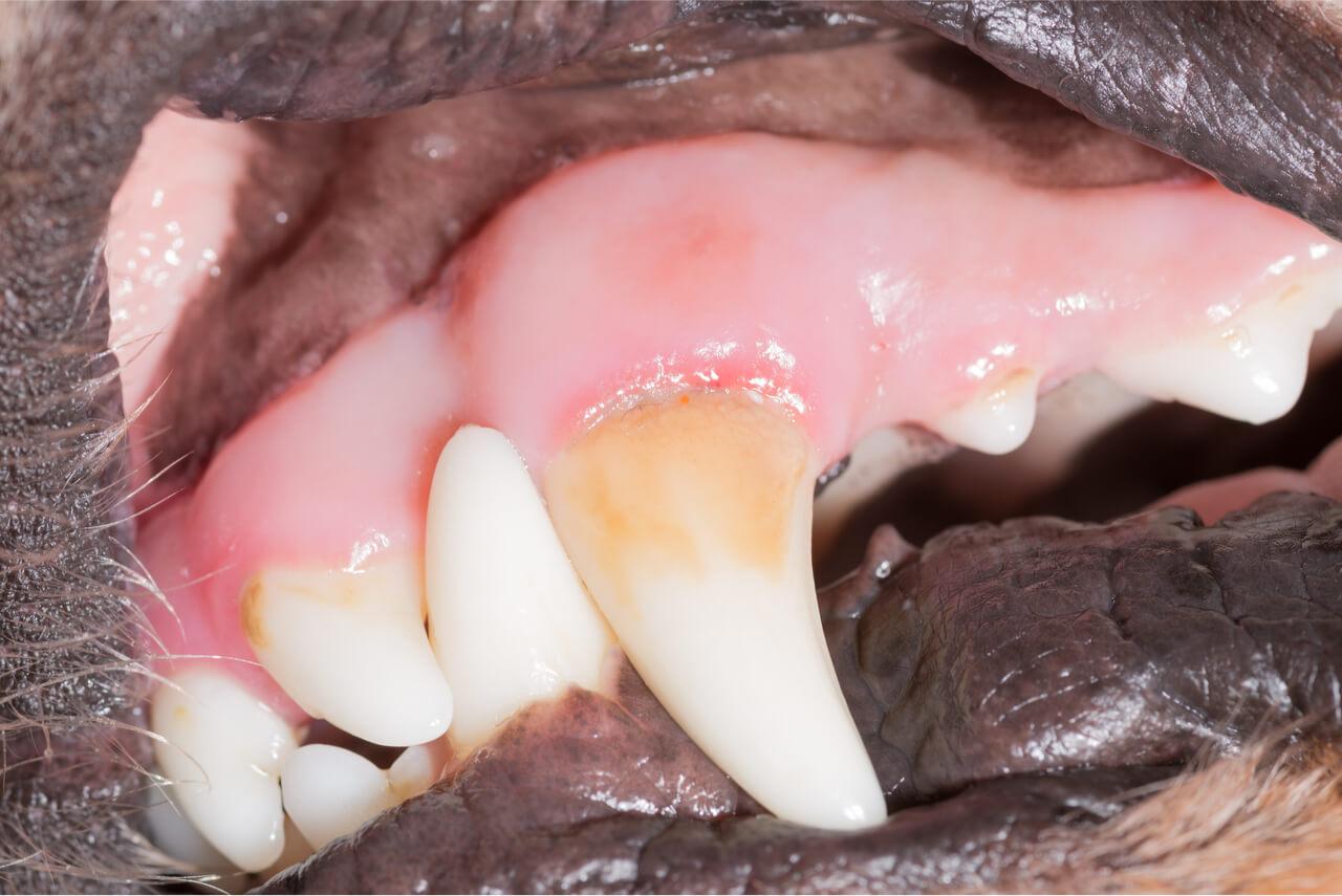 dog teeth bleeding